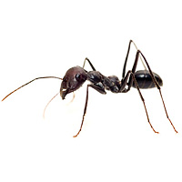 bug_guide_ants