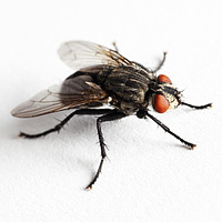bug_guide_barnhouseflies