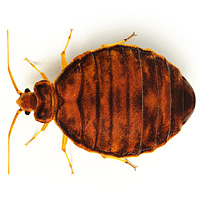 bug_guide_bedbugs