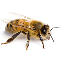bug_guide_bees