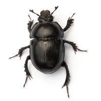 bug_guide_carpetbeetle