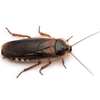 bug_guide_cockroaches
