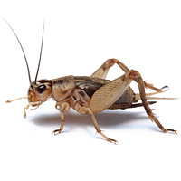 bug_guide_crickets