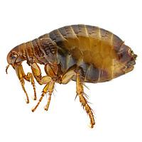 bug_guide_fleas