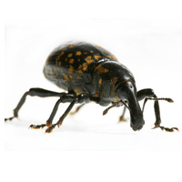 bug_guide_productpest_weevil