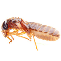 bug_guide_termites