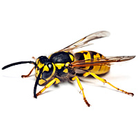 bug_guide_wasps